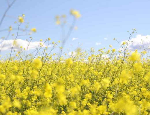 field of spring rapeseed
